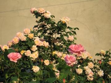 medium_apricot-rose.jpg