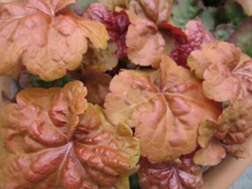 medium_caramel-heuchera.jpg