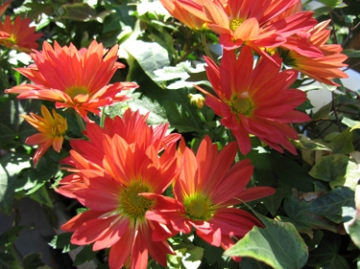medium_chrysanth-2.jpg