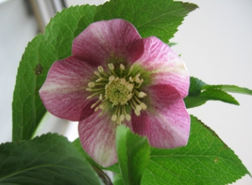 medium_helleborus-2.jpg