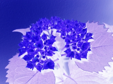 medium_hortensia-1-bleu.jpg
