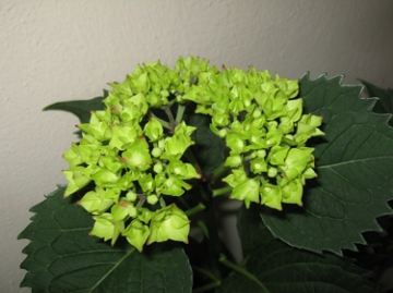 medium_hortensia-1.jpg