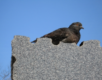 medium_pigeon-hernu.jpg