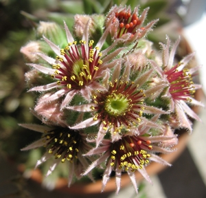 medium_sempervivum-1.3.jpg