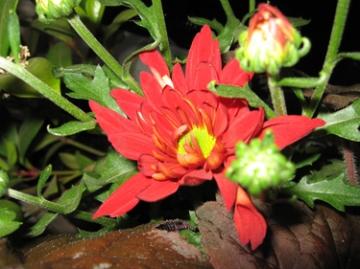 medium_spring-chrysantheum.jpg