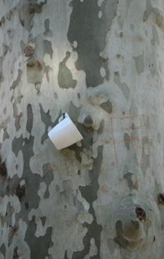 medium_tree-cup.jpg