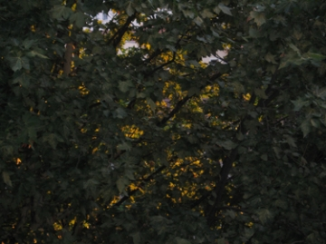 medium_yellow-leaves-2.jpg