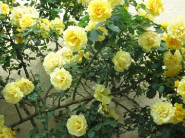 medium_yellow-roses.2.jpg