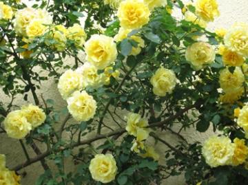 medium_yellow-roses.2.jpg
