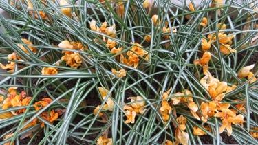 fleur,printemps,crocus