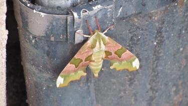 papillon,camouflage,sphinx du tilleul