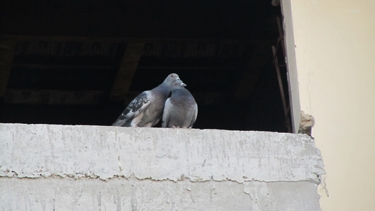 pigeons,maison,oiseau