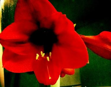 amaryllis-rouge-1.jpg