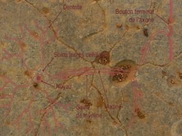neurones2-.jpg
