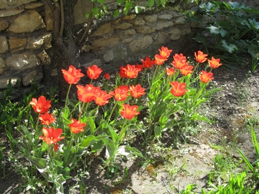tulipe,jardin,fleur,rouge,chaperon rouge
