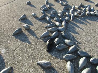 art public,sculpture,place,ville,art,art contemporain,bertholon,bourgeaux,pigeon