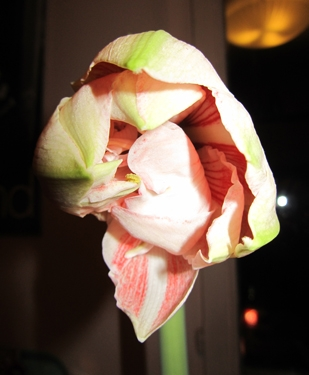 amaryllis-rose-1.jpg