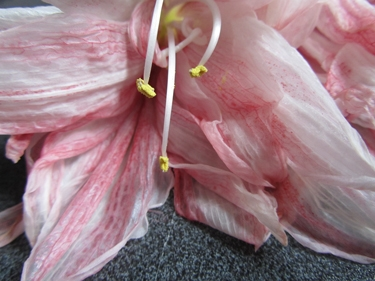 amaryllis-rose-5.jpg