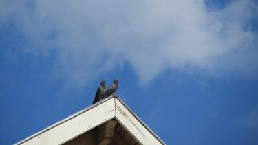 pigeon,mur,toit,ciel