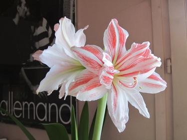 amaryllis-rose-2.jpg