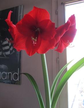 amaryllis-rouge-4.jpg