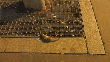 rat,rat mort,sol,trottoir
