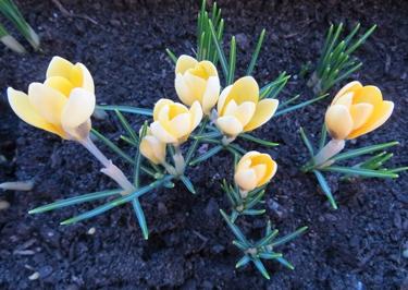 crocus,printemps