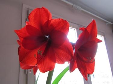 amaryllis-rouge-2.jpg