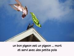 un bon pigeon.jpg